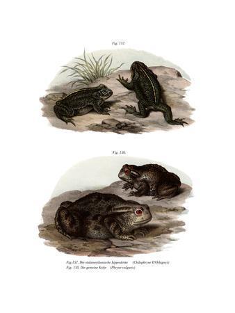 Dorbigny's Toad