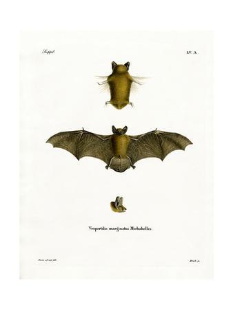 Kuhl's Pipistrelle