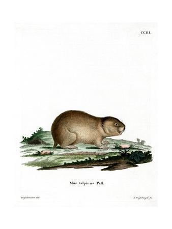 Northern Mole Vole