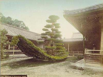 Pine Tree at Kinkaku-Ji, Kyoto, C.1905