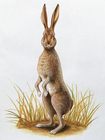 Close-Up of an European Hare Standing in Tall Grass (Lepus Europaeus)