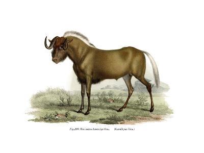 Gnu, 1860