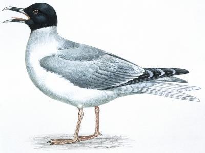 Birds: Charadriiformes, Swallow-Tailed Gull (Creagrus Furcatus)
