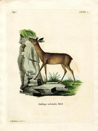 Cape Grysbok