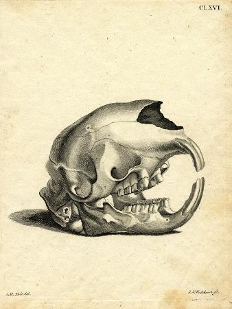 Hyrax Skull