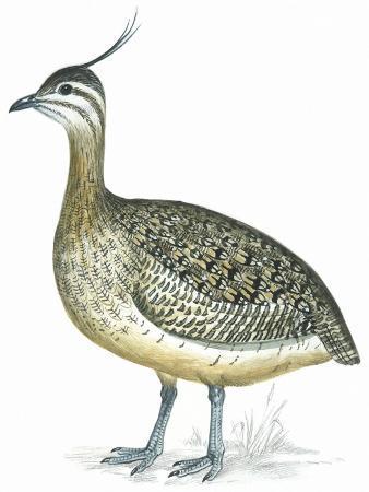 Birds: Tinamiformes, Elegant Crested Tinamou (Eudromia Elegans)