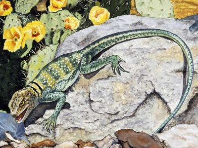 Eeastern Collared Lizard (Crotaphytus Collaris), Crotaphytidae