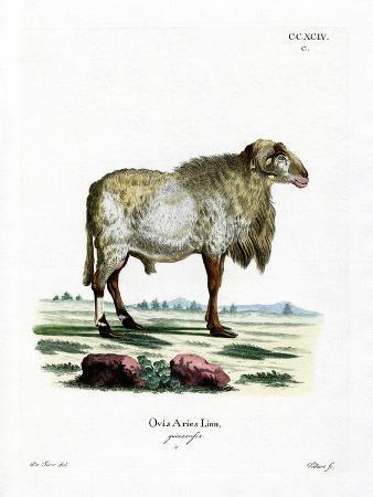 Guinea Sheep