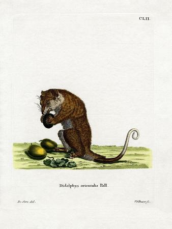 Gray Cuscus