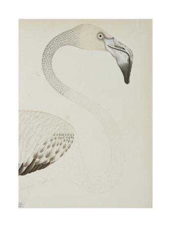 A Flamingo, Detail, C.1780