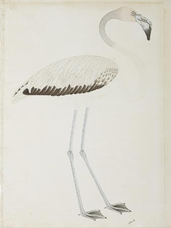 A Flamingo, C.1780