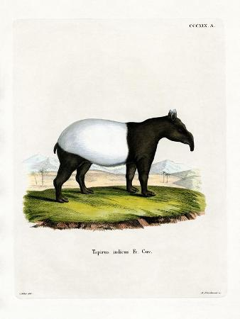 Indian Tapir