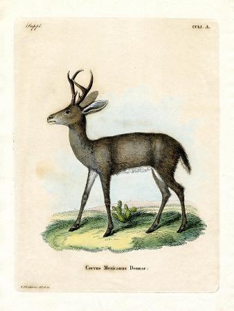 Mexican Deer