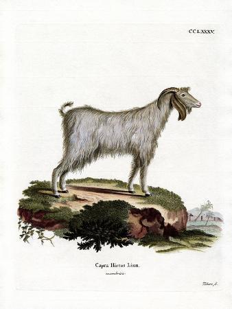 Mamber Goat