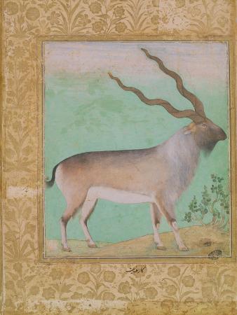 Ibex, Mughal