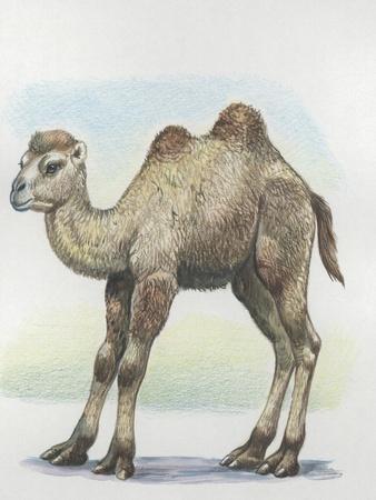 Close-Up of a Calf of a Bactrian Camel (Camelus Ferus)