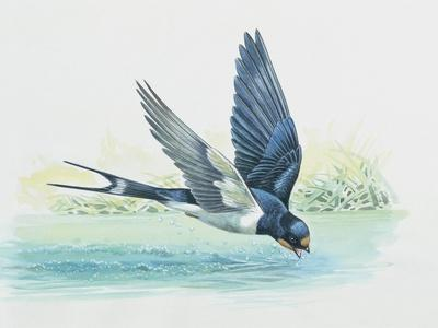 Close-Up of a Swallow Drinking Water (Hirundo Rustica)