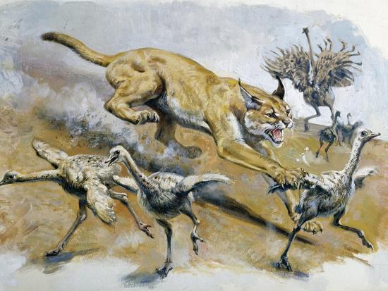 Caracal Or Desert Lynx Caracal Caracal Felidae Giclee Print At