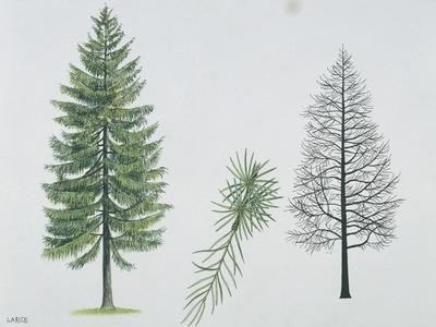 European Larch (Larix Decidua), Tree and Needles
