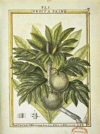 Breadfruit (Artocarpus Altilis), Watercolour by Delahaye, 1789