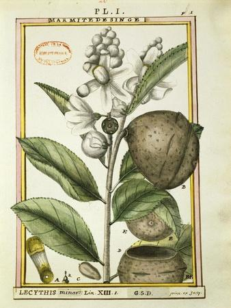 Monkey Pot Nut (Lecythis Minor), Watercolour by Delahaye, 1789