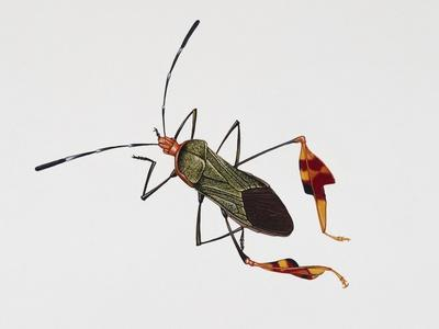 Squash Bug (Anasa Tristis), Coreidae, Artwork by Rebecca Hardy