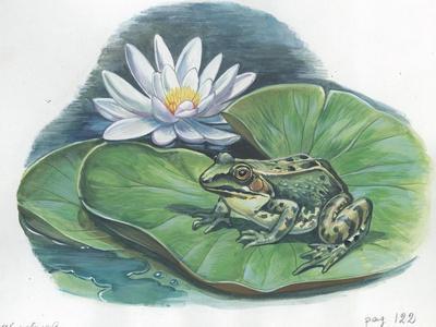 Edible Frog Rana Esculenta or Pelophylax Esculentus