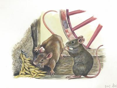House Mice Mus Musculus Eating Corn in a Barn