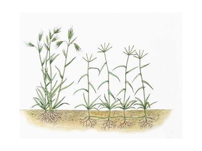 Red Grass Themeda Triandra and Bermuda Grass Cynodon Dactylon