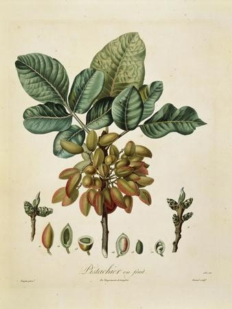 Pistachio (Pistacia Vera) by Francois Turpin