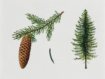 Norway Spruce (Picea Abies), Pinaceae, Tree, Leaves and Fruit
