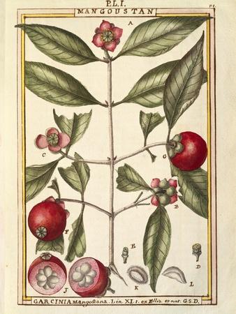 Mangosteen (Garcinia Mangostana), Watercolour by Delahaye, 1789