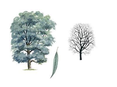 Salicaceae - White Willow Salix Alba