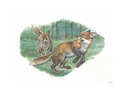 Red Foxes Vulpes Vulpes in Forest