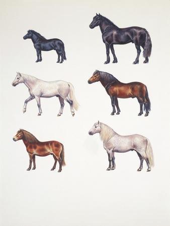 Medium Group of Ponies (Equus Caballus)