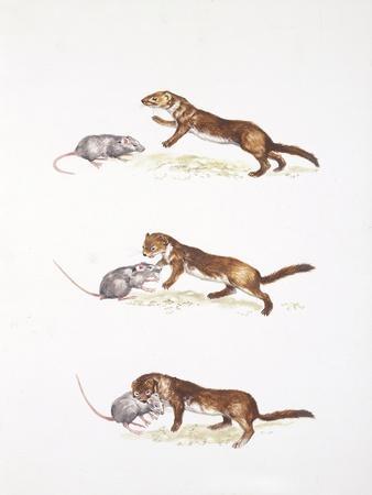 Ermine (Mustela Erminea) Hunting