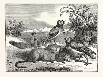 Burrowing-Owls and Prairie-Dogs