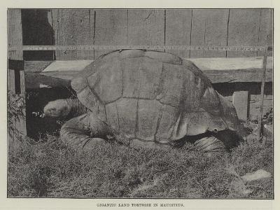 Gigantic Land Tortoise in Mauritius