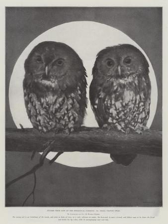 Studies from Life at the Zoological Gardens, Tawny Owls