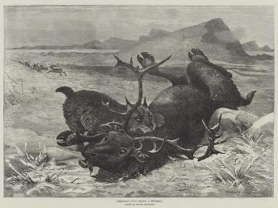 Norwegian Lynx Killing a Reindeer