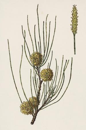 Inflorescences of Australian Pine (Casuarina Equisetifolia)