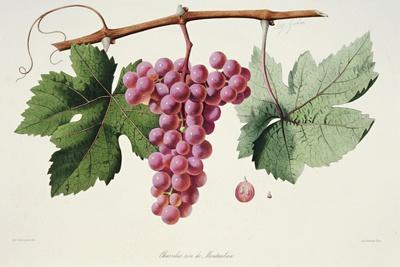 Ampelography, Grape Chasselas Rose De Montauban Auvergne