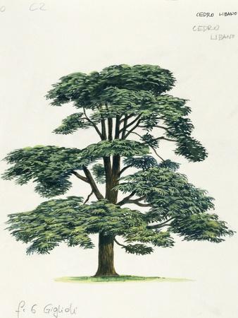Pinaceae, Lebanon Cedar Cedrus Libani