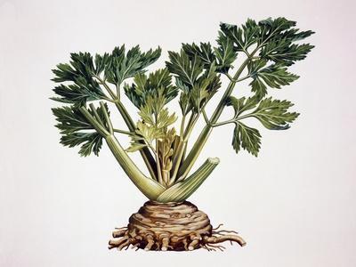 Celery (Apium Graveolens), Apiaceae