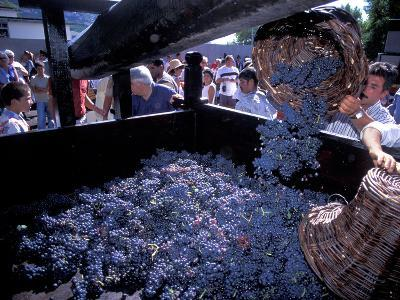 Wine Press, Wine Harvest Festival, Camara De Lobos, Madeira, Portugal