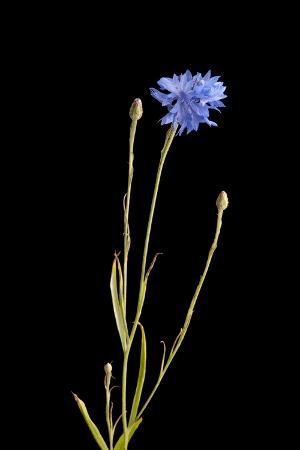 A Bachelor's Button, Centaurea Cyanus