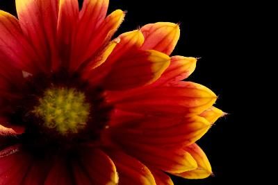 A Close Up of a Fire Wheel Flower, Gaillardia Pulchella