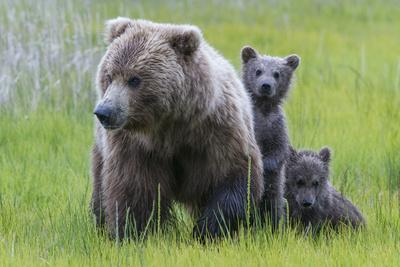 A Grizzly Bear Family, Ursus Arctos Horribilis, Stands in the Sedge Grass