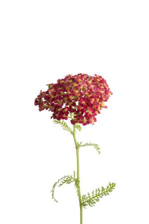 A Common Red Yarrow Plant, Achillea Millefolium