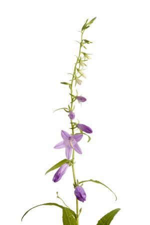 A Creeping Bellflower Plant, Campanula Rapunculoides
